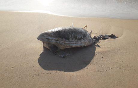 כואב – הזיהום בחופי אשקלון: צב ים מת נפלט לחוף